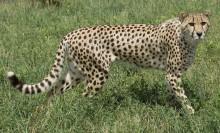 a cheetah walks through grass