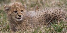 cheetah cub in grass