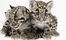 two clouded leopard cubs