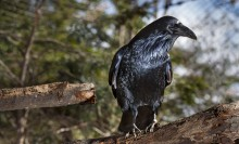 A medium-sized black bird, called a common raven, perched on a tree branch
