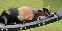 A goat laying down to rest on a platform with grass in the background