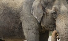 Close-up photo of an Asian elephant