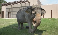 An Asian elephant standing in the grass in front of a building
