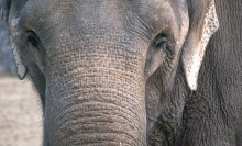 close-up of elephant face and part of trunk