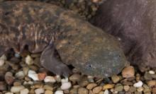 hellbender underwater laying on river rocks