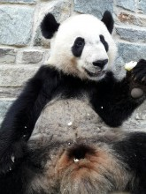 Giant panda Bei Bei eating a frozen pear