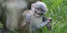 Swamp monkey baby plays with stick