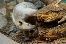 tamandua looking in log