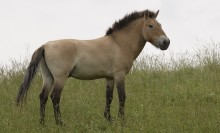 Tan and buff horse standing in a grassy field. The mane, nose, legs, and tail are a dark brown