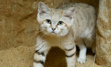 A small sand cat standing in an exhibit featuring brown sand and rock work