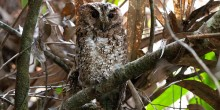 First photograph of Bornean Rajah scops owl in the wild.