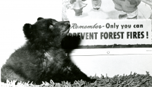 "A small bear cub sitting on a shag rug looks up at a poster of Smokey Bear with the text ""Remember - Only you can prevent forest fires!"""