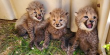 Three tiny cheetah cubs sit in grass by their den