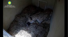 A female cheetah cub in a cubbing den layered with hay licks a small cub she just gave birth to