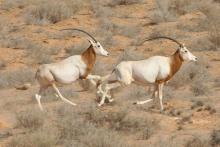 two oryx running through the desert