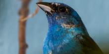 Close up photo of an indigo bunting, a bright-blue colored songbird