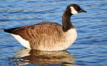 large goose standing in water