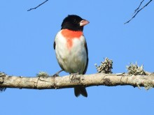 A bird with a black head, white belly and red patch at its neck perched on a branch