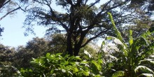tall tree over coffee shrubs
