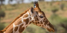 a head and neck of a giraffe