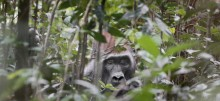 Gorilla in Gabon by David Korte