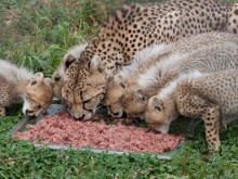 An adult cheetah and cubs eating from a plate in the grass