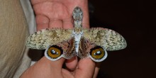 A lantern fly with a big body and large, patterned wings held in a researcher's hands