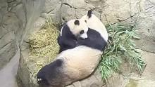 #PandaStory: An Observant Cub
