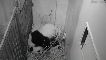 Giant Panda Cub Born at Smithsonian's National Zoo