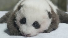 #PandaStory: 11 Weeks Old
