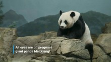 Preparing for a Giant Panda Cub at Smithsonian's National Zoo