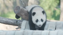 #PandaStory: Watch Xiao Qi Ji Climb and Tumble