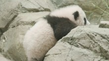 Giant panda cub Xiao Qi Ji vs. the Rock Wall