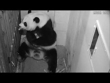 #PandaStory: Cub Day 19 (Video 2)