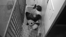 #PandaStory: Xiao Qi Ji Takes His First Steps
