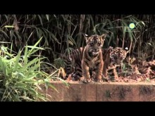 Tiger Cubs at the Smithsonian's National Zoo