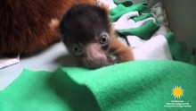 Critically Endangered Red-Ruffed Lemurs Born at the Smithsonian's National Zoo