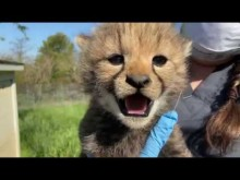 Cheetah cub weigh-in at Smithsonian Conservation Biology Institute, May 14