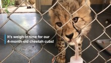 Cheetah Cubdate #11: Building Relationships