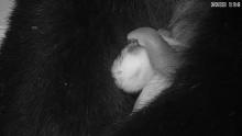 #PandaStory: Giant Panda Cub Yawn Sept. 9, 2020