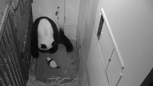 Giant Panda Cub Crawls at Smithsonian's National Zoo
