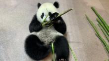 #PandaStory: Giant Panda Xiao Qi Ji Devours Bamboo Shoots