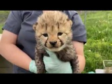 Cheetah cub weigh-in at Smithsonian and Conservation Biology Institute