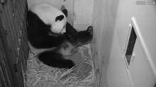 Get a Glimpse of a Giant Panda Cub at Smithsonian's National Zoo