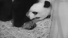 #PandaStory: Cub Day 5 at Smithsonian's National Zoo