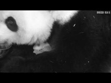 #PandaStory: Cub Day 19 (Video 1)