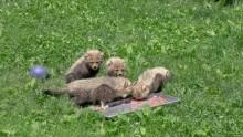 #CheetahCubdates: Cubs Eating Meat