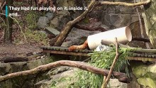 Red Panda Teeter-Totter Playtime