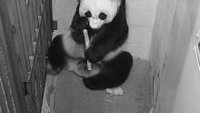 #PandaStory: Cub Day 13