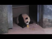 #PandaStory: Giant Panda Xiao Qi Ji Eats a Fruitsicle